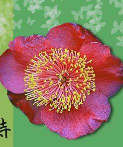 Camellia Higos