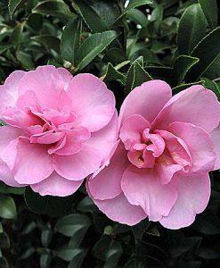 Camellia Sasanquas