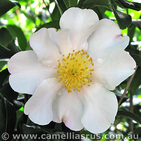 Cleopatra white camellias r us for Camellia sasanqua